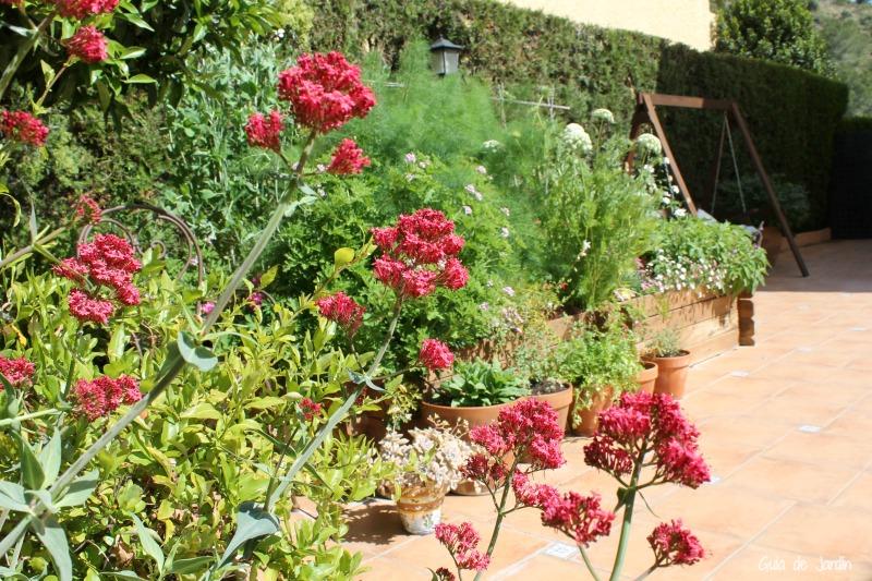 Valeriana roja (Centranthus ruber)