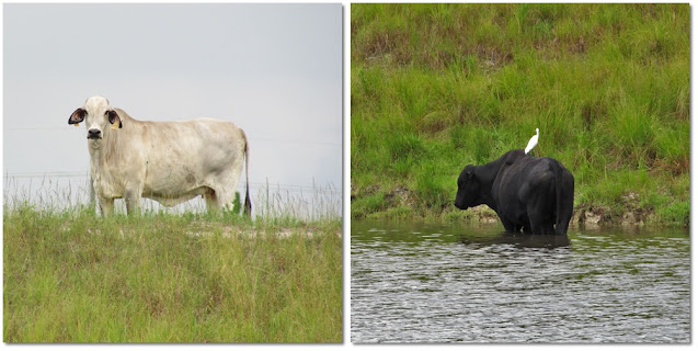 A white bird is sitting on the back of a black cow that is standing in the river.