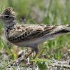 Perlukah Full Kerodong Pada Burung Branjangan Saat Mabung