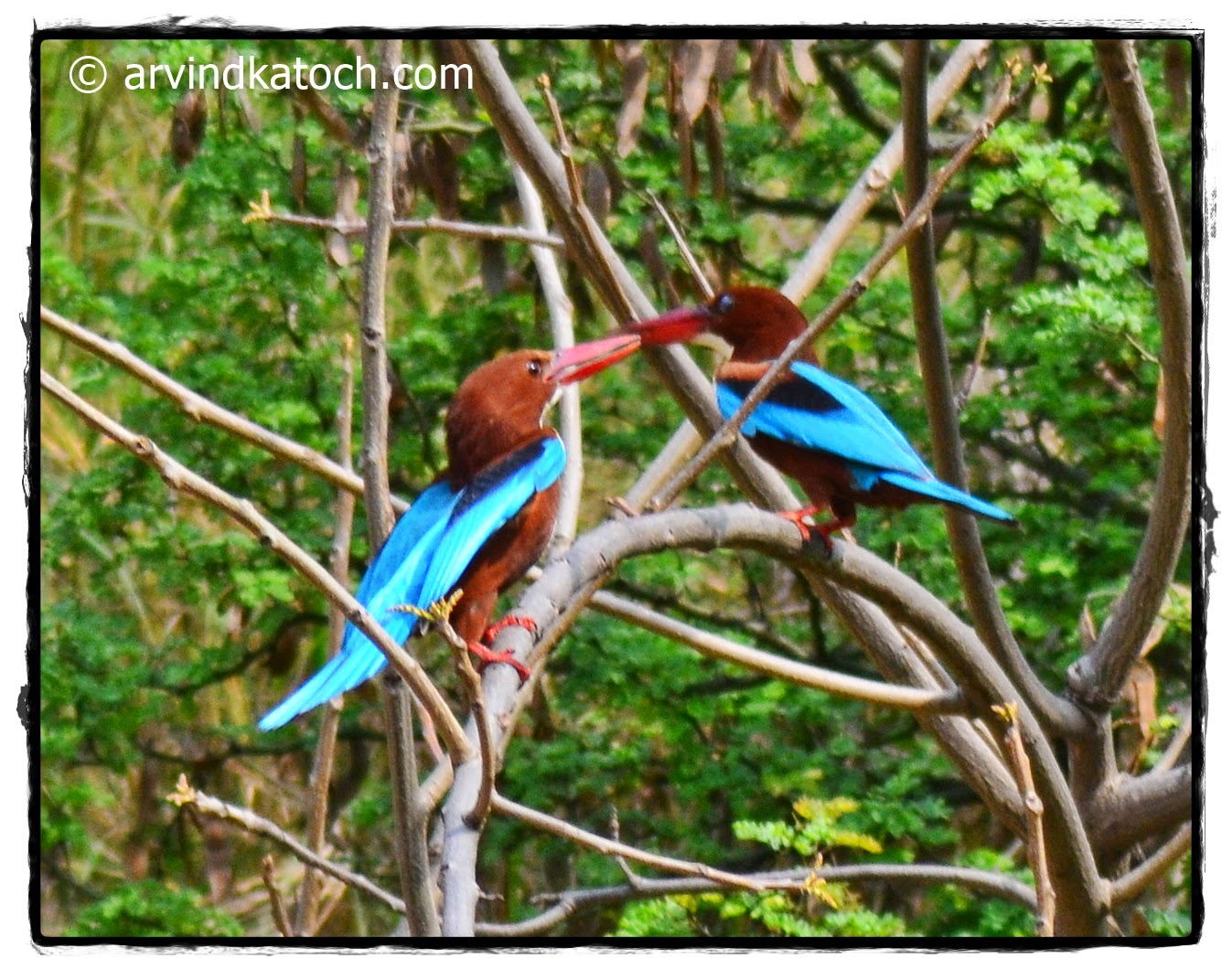 White Throated Kingfisher, Training, Bird,