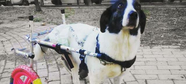Ενας υδραυλικός στην Ηλιούπολη φτιάχνει αναπηρικά αμαξίδια για ζώα και... τον ζητούν και από τις ΗΠΑ