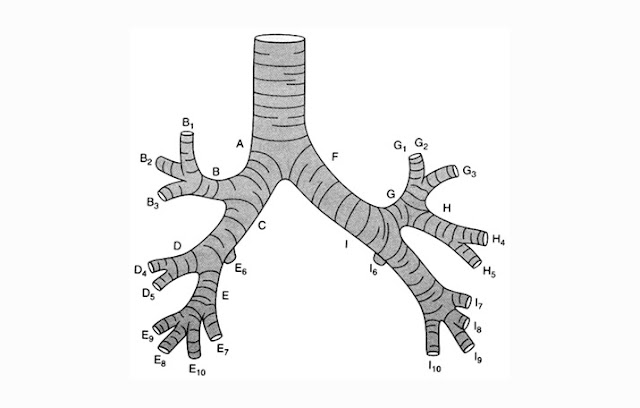 Struktur Bronkus