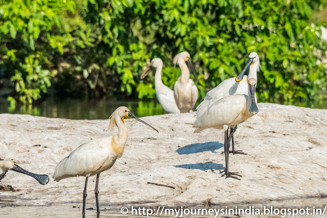 Ranganathittu Birds Common Spoonbill