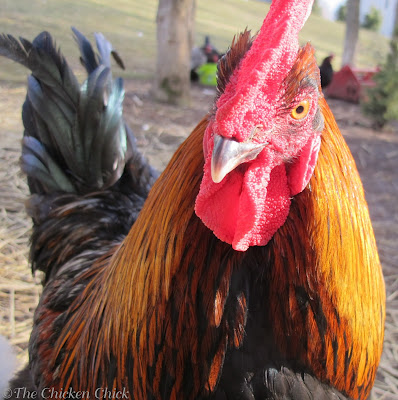 Roosters are good early warning alarms for predators in a chicken yard.