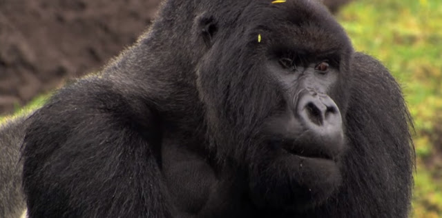 Endangered African Mountain Gorilla