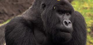 Endangered African Mountain Gorilla
