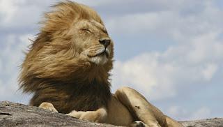 Curiosidades sobre los leones. Lo que debes saber sobre el rey de la selva.