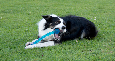Working border collie chewing Kong Safestix toy