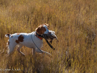Brittany retrieving a Hungarian partridge