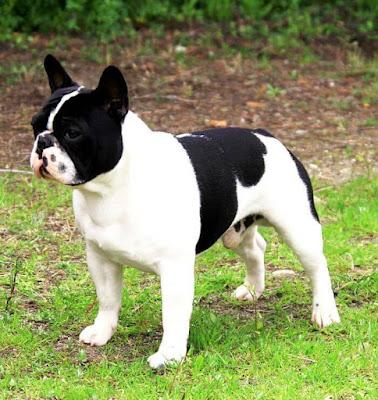 Perro pequeño Bulldog Francés
