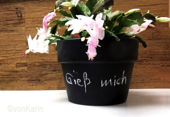 blühender-Weihnachtskaktus-im-schwarzen-Blumentopf