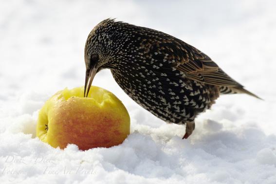 Star (Sturnus vulgaris) im Schnee mit Apfel