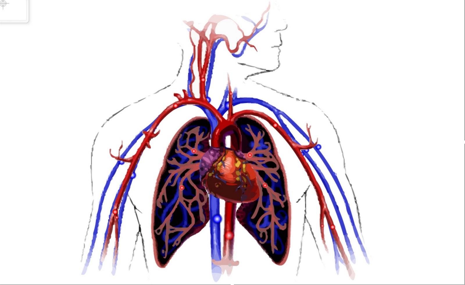 Aulia Blog Animasi Biologi Smp Maupun Sma Sistem Sirkulasi Darah