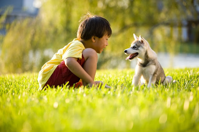 An Asian boy with his Alaskan Klee Kai puppy in a field in summer