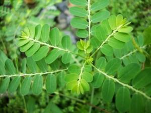 Meniran (phyllanthus niruri) Peningkat Immunitas