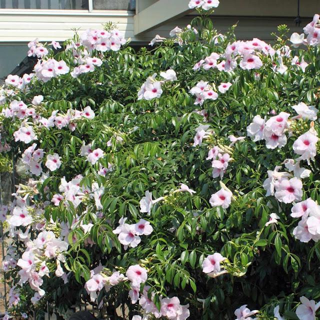 pandorea-jasminoides-2jpg.jpg