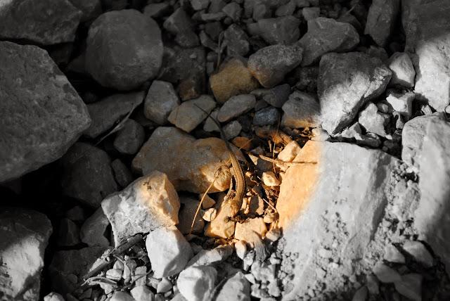 Ящерица. Черногория