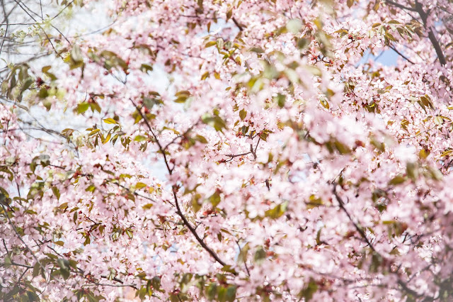 kirsikkapuut