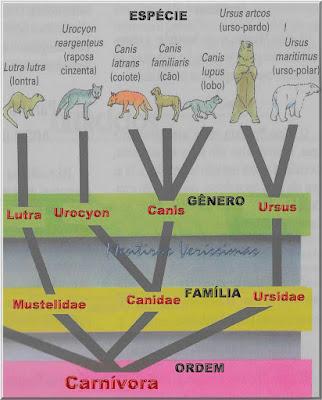 Figura ilustrando as categorias de classificação dos seres vivos da ordem carnívoro do reino animal passando pelas classificações taxionômicas de família, gênero e espécie.