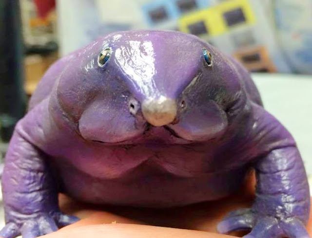Purple Frog in India