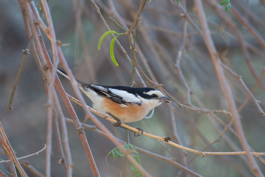 Wintering Masked Shrike and other good birds – Deffi Park, Jubail