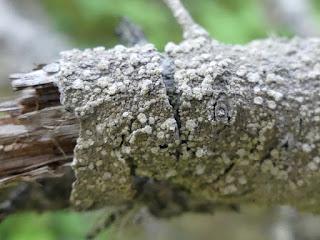 Pertusaire amère - Lepra amara - Pertusaria amara
