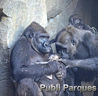Nacimiento de bebé gorila en Bioparc