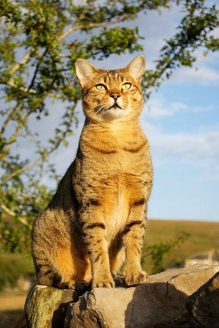 Top 5 Most Affectionate Cat Breeds - Angels on Earth
