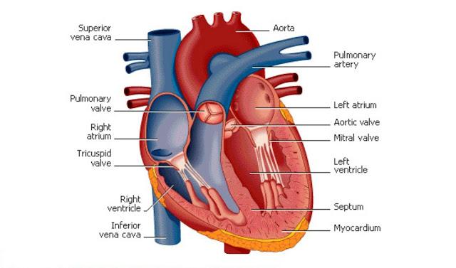 Cara Menjaga dan Meningkatkan Kesehatan Jantung