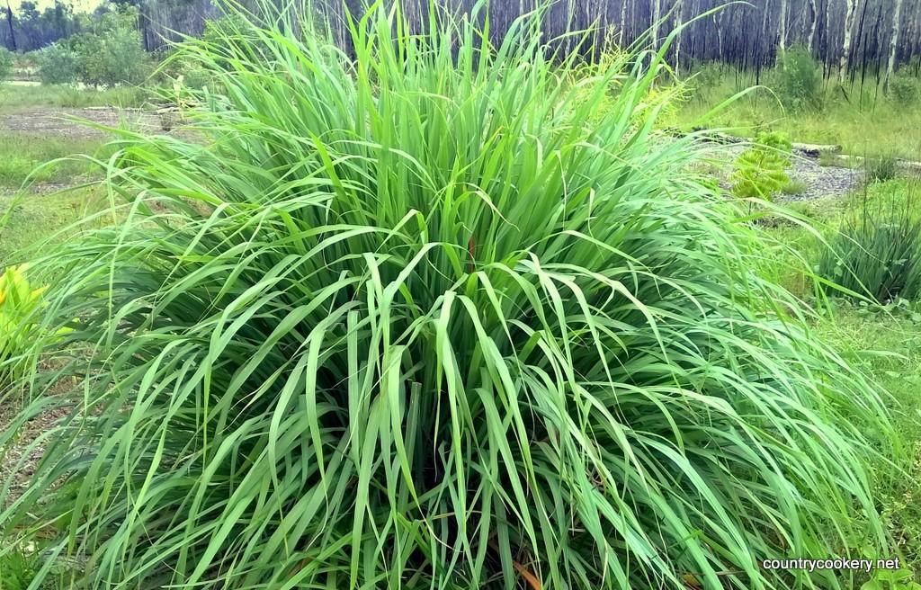 Top 28+ - Lemon Grass Plant Pictures - 17 best images ...