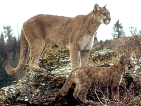 Resultado de imagen para león americano