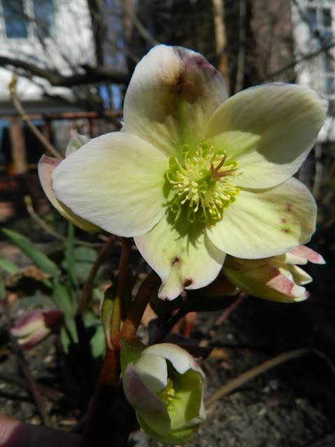 """Pink Beauty"" Hellebore spring blooms by garden muses: a Toronto gardening blog"