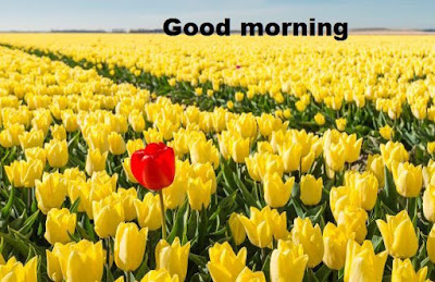 Good morning images with flowers HD download - beautiful images of tulips
