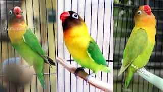 Tips dan Manfaat Mandi Malam Untuk Lovebird Paud Dan Dewasa