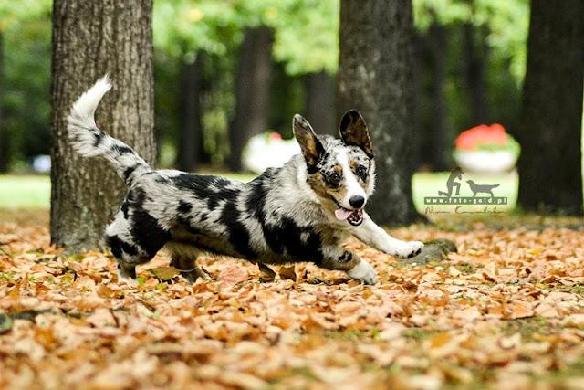 park, pies, pies w parku, pies w parku sowińskiego, podróże z psem, spacer z psem, podróżowanie z psem, spacerowanie z psem, twiggy, welsh corgi, welsh corgi cardigan, cardigan