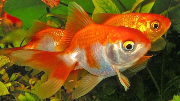 Ikan maskoki pembawa hoki atau keberuntungan