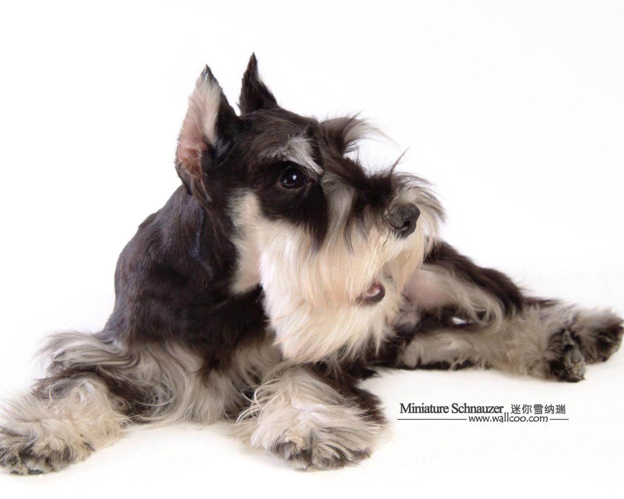 Cute Shih Tzu Puppies Wallpaper Cute Dogs Miniature Schnauzer Puppies