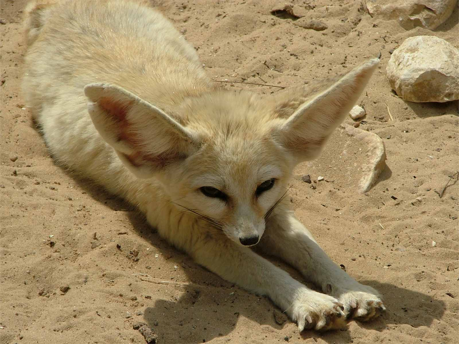Fennec Fox Facts And Pictures Images