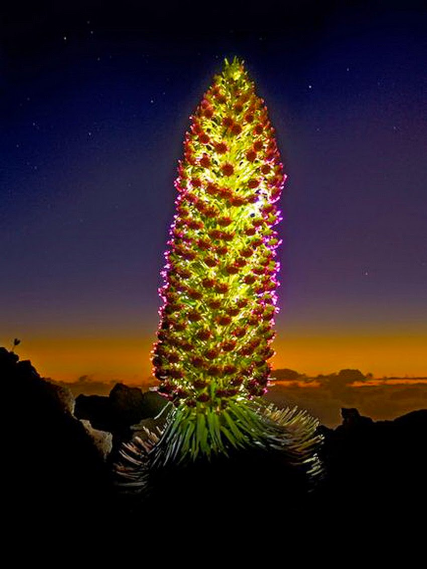 Sizzling Tourist Hotspots in Hawaii | Silversword, Haleakala National Park on Maui, Hawaii_Photograph by Guy Hamilton