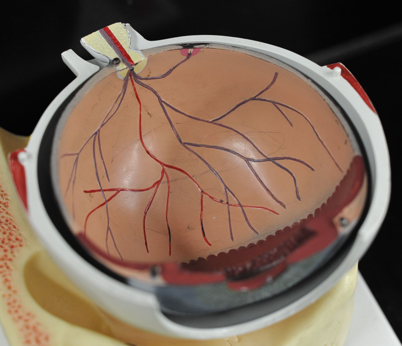 Human Anatomy Lab: Eye Models