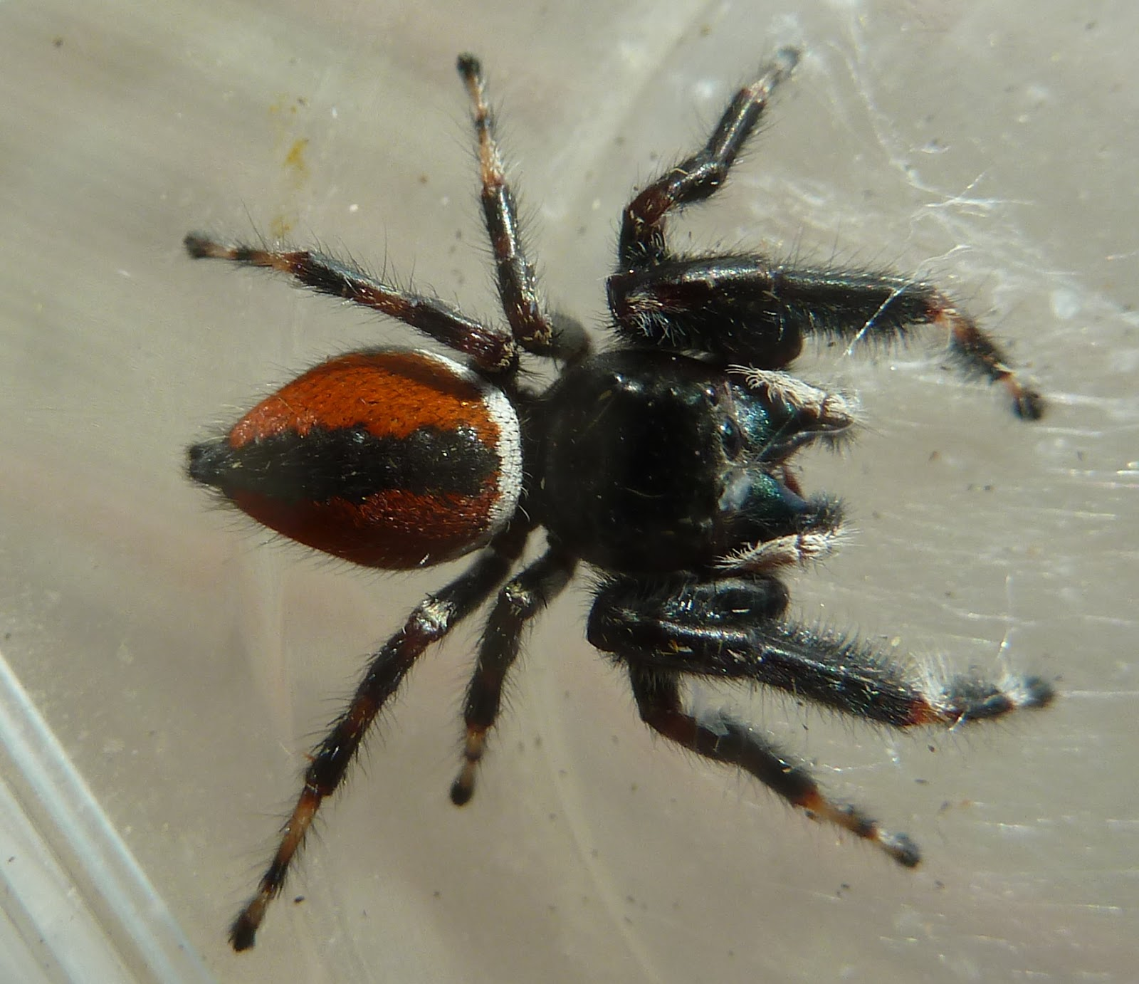 Black jumping spider with red dot - photo#38