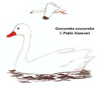 Coscoroba Coscoroba coscoroba