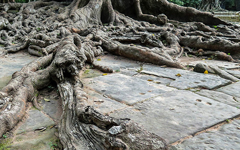 Invasive tree roots damaging hardscapes walkways and sidewalks