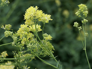 Pigamon jaune - Pigamon noircissant - Thalictrum flavum
