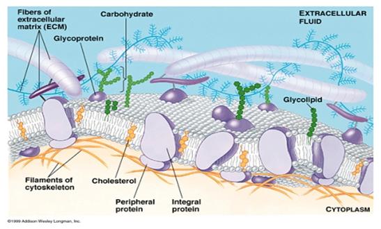 Membran sel