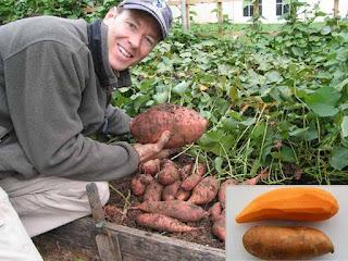 Organik Tatlı Patates Yetiştiriciliği Tarımsal İş Fikirleri