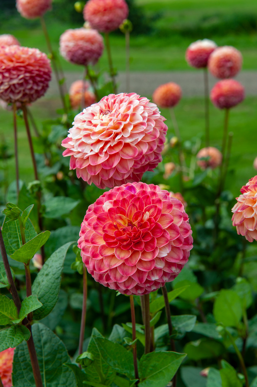 dalia (Dahlia) Decorative Group color rosa bicolor