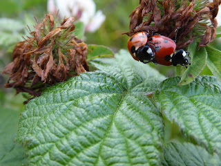 7-spot Ladybirds (Coccinella septempunctata)