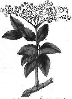 Σαμπούκος: Το βότανο για κρυολογήματα