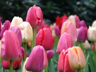 tulip-bunga-surabaya